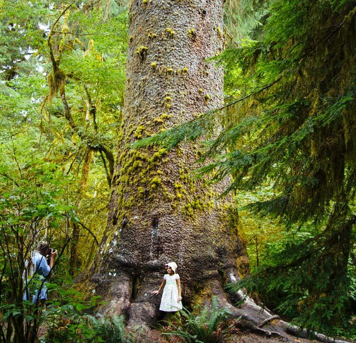 Gigantyczny świerk sitka w jednym z lasów deszczowych Olympic National Park's rainforests